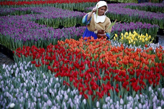 """A woman dressed up as """"The Milkmaid"""" by Johannes Vermeer picks tulips that were placed in front of the Royal Palace at the Dam Square to celebrate the beginning of the tulip season in Amsterdam, the Netherlands January 16, 2016. (Photo by Michael Kooren/Reuters)"""