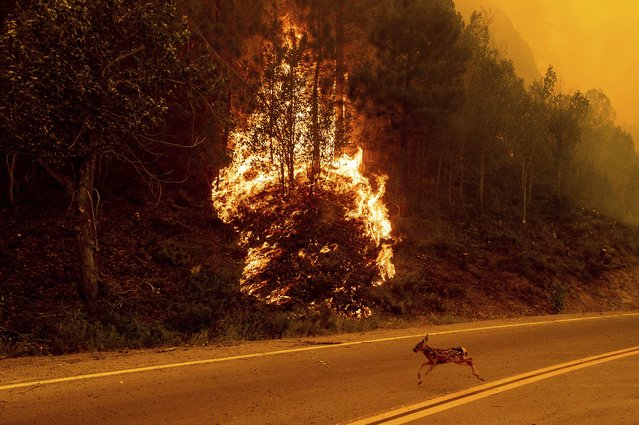 An animal sprints across a road as the Sugar Fire, part of the Beckwourth Complex Fire, burns in Plumas National Forest, Calif., on Thursday, July 8, 2021. (Photo by Noah Berger/AP Photo)
