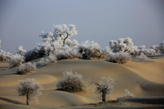 Frost-covered poplar trees in the Taklamakan desert, Xinjiang, China on January 5, 2019. (Photo by Du Zongjun/Costfoto/Barcroft Images)
