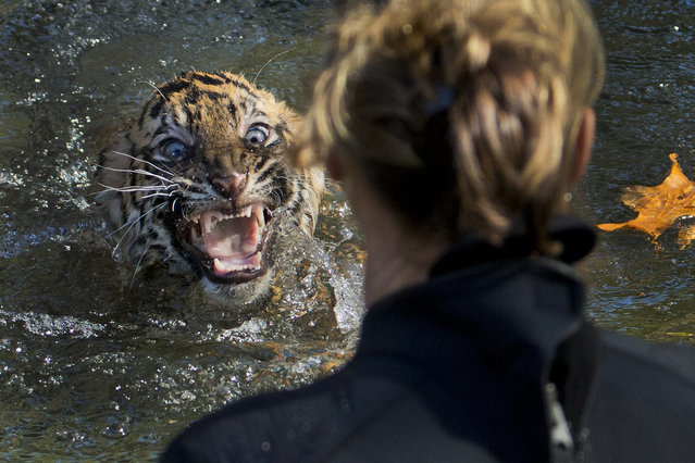 """A three-month-old Sumatran tiger cub named """"Bandar"""" shows his displeasure after being dunked in the tiger exhibit moat for a swim reliability test at the National Zoo in Washington, Wednesday, November 6, 2013. (Photo by Manuel Balce Ceneta/AP Photo)"""