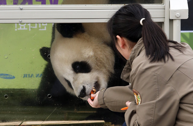 A South Korean handler feeds a panda named Le Bao, a three-year-old male, during a welcoming ceremony for a pair of giant pandas from China's Sichuan province at a cargo terminal of the Incheon International Airport in Incheon, South Korea, Thursday, March 3, 2016. A pair of giant pandas arrived in South Korea following an agenda about panda research cooperation in a meeting between Chinese President Xi Jinping and South Korean President Park Geun-hye in 2014. (Photo by Lee Jin-man/AP Photo)