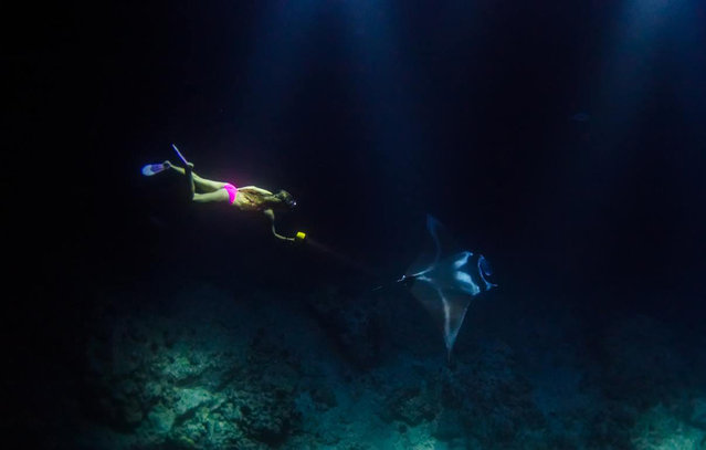 Photographs show an adventurer swimming with giant Manta Rays at night. In her latest daring adventure, Alison Teal set out in the middle of the night to free dive with Manta Rays off the coast of Hawaii. Using only hand held dive lights, Alison dove over 50 feet down being careful never to touch the mantas as they fed off the plankton in the light streams. Here: Photos taken by photographer Sarah Lee show the beautiful sight of Manta Rays at night, as they swim with America explorer, Alison Teal. (Photo by Sarah Lee/Caters News Agency)