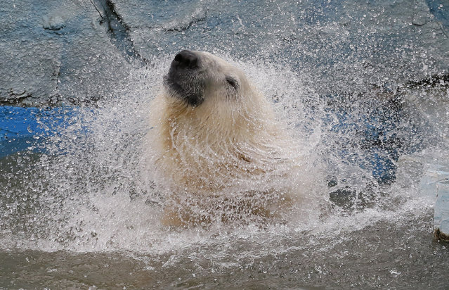 Felix, a nine-year-old polar bear, shakes off water in a pool inside its enclosure at the Royev Ruchey Zoo in Krasnoyarsk, Siberia, Russia, March 29, 2016. (Photo by Ilya Naymushin/Reuters)