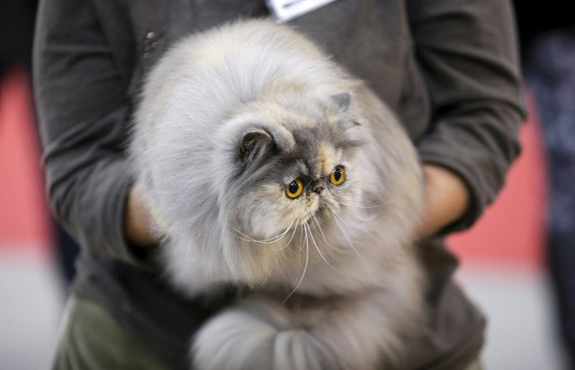 A participant holds her cat during the Mediterranean Winner 2016 cat show in Rome, Italy, April 3, 2016. (Photo by Max Rossi/Reuters)
