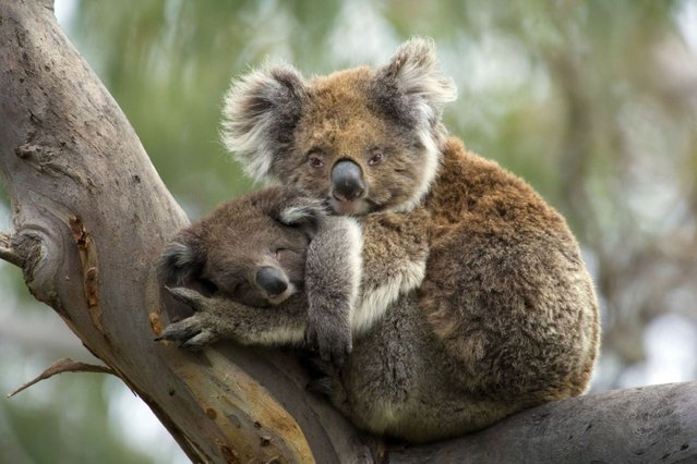 Koala with Joey. (Photo by Steffen and Alexandra Sailer/Ardea Wildlife Pets Environment/Caters News)