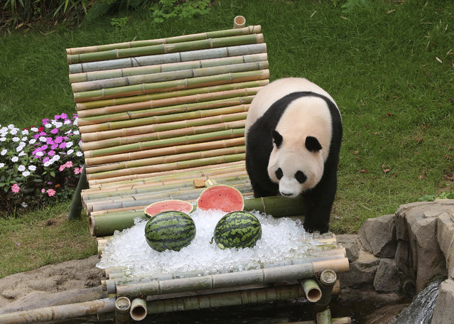 Chinese panda Ai Bao approaches watermelons presented to her in a celebration for her fourth birthday on July 13, at the Everland amusement park in Yongin, South Korea, Wednesday, July 12, 2017. (Photo by Ahn Young-joon/AP Photo)
