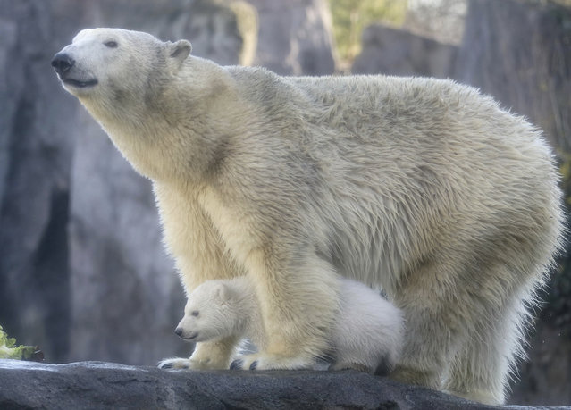 A polar bear baby walks with its mother Nora through the enclosure at the Schoenbrunn zoo in Vienna, Austria, Thursday February 13, 2020. The still unnamed bear, born Nov. 9, 2019 at the Schoenbrunn zoo, is presented to the public for the first time. (Photo by Ronald Zak/AP Photo)