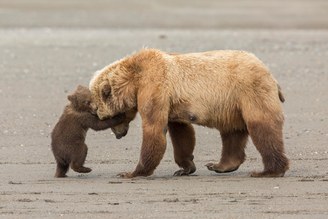 Bear hug by Ashleigh Scully (US). After fishing for clams at low tide, a mother brown bear leads her spring cubs back across the beach to the nearby meadow. But one young cub wants to stay and play. Finalist 2017, Young Wildlife Photographer of the Year, 11-14 Years. (Photo by  Ashleigh Scully/2017 Wildlife Photographer of the Year)