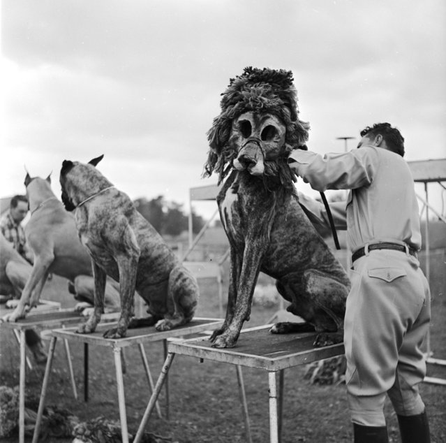 Animal trainer Robert Baudy dresses boxer dogs as lions. The special lion masks worn by his dogs save him the cost and the danger of working with real lions, 1956. Audiences seem to like it as much as the real thing too. (Photo by Don)