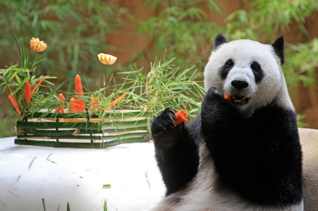 Liang Liang, formerly known as Feng Yi, a female giant panda from China, eats carrot in celebration of its 8th birthday, at the Giant Panda Conservation Center at the National Zoo in Kuala Lumpur, Malaysia, Saturday, August 23, 2014. The two giant pandas on loan to Malaysia from China for 10 years to mark the 40th anniversary of the establishment of diplomatic ties between the two countries. (Photo by Lai Seng Sin/AP Photo)