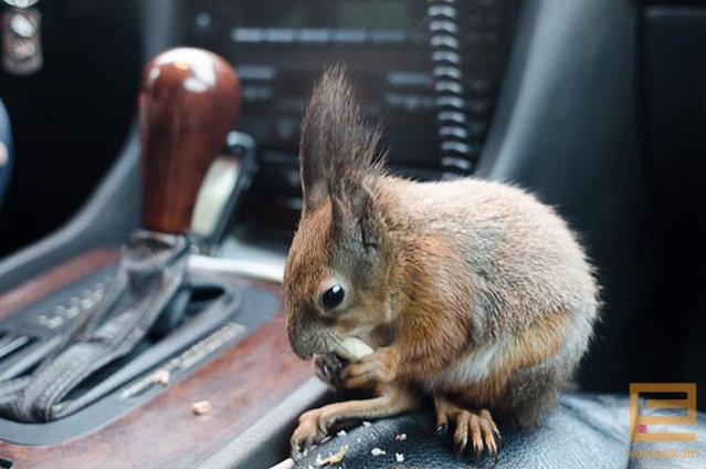Little squirrel in Minsk worked with the taxi driver