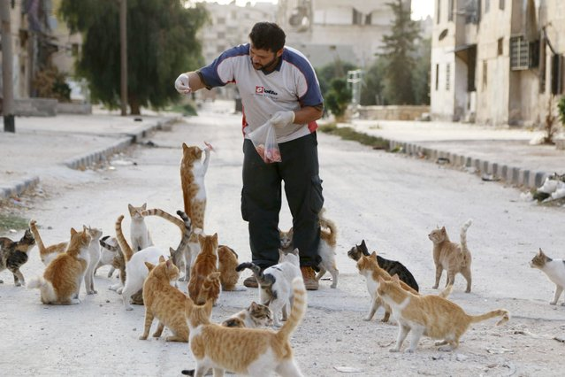 Alaa, an ambulance driver, feeds cats in Masaken Hanano in Aleppo, September 24, 2014. Alaa buys about $4 of meat everyday to feed about 150 abandoned cats in Masaken Hanano, a neigbourhood in Aleppo that has been abandoned because of shelling from forces loyal to Syria's president Bashar Al-Assad on it. Alaa said that he has been feeding and taking care of the cats for over 2 months. (Photo by Hosam Katan/Reuters)