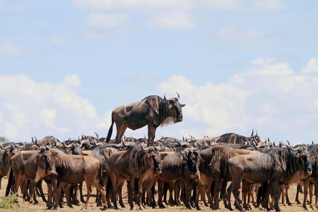 Blue wildebeest standing on a mound pictured in Masai Mara, Kenya. (Photo by Jean Jacques Alcalay/Comedy Wildlife Photography Awards/Barcroft Media)