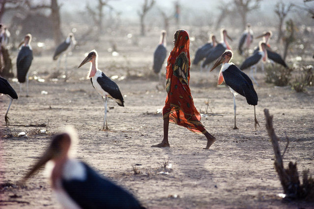 North Kenya, Liboi.  A young Somali refugee crosses a field filled with marabous storks in July 1992. (Jean-Claude Coutausse)