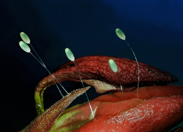 Chrysopa perla (green lacewing) eggs; Stereomicroscope, Focus Stack, 3X. Keszthely, Zala, Hungary. (Photo by Dr. Csaba Pintér/Nikon Small World 2014)