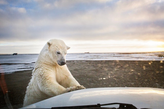 """In late summer and early autumn polar bears flock to the native village of Kaktovik in the Alaskan Arctic to eat at """"the boneyard"""" – the remains of whales annually hunted by the community. (Photo by Katie Orlinsky/Getty Images)"""