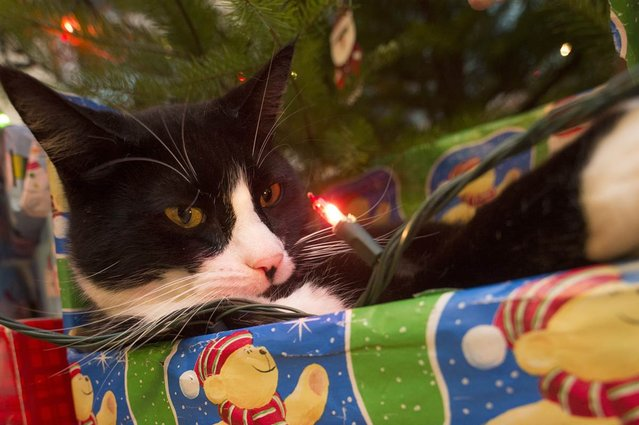 A domestic cat named Scooter watches a light closely as he relaxes in a wrapped box under a Christmas tree. (Photo by Robin Loznak/Zuma Press)