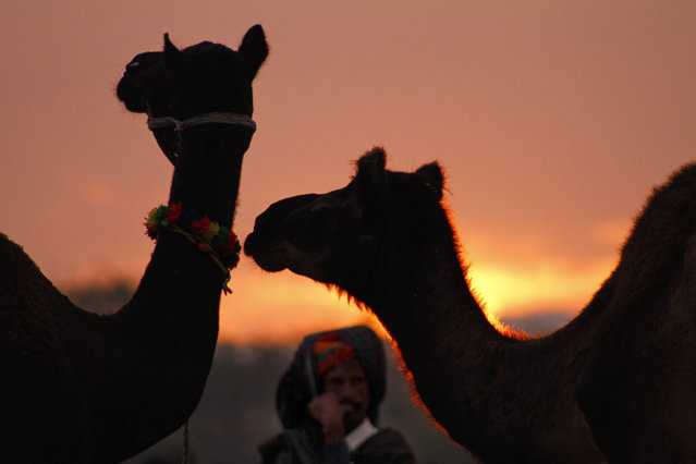 An Indian camel herder stands by his camels at sunrise during the annual cattle fair in Pushkar, in the western Indian state of Rajasthan, India, Saturday, November 1, 2014. Pushkar is a popular Hindu pilgrimage spot that is also frequented by foreign tourists who come to the town for its annual cattle fair. (Photo by Deepak Sharma/AP Photo)