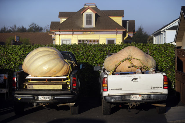 Giant pumpkins sit on pick up trucks beds waiting to be weighed at the Annual Safeway World Championship Pumpkin Weigh-Off Monday, October 12, 2015, in Half Moon Bay, Calif. (Photo by Marcio Jose Sanchez/AP Photo)