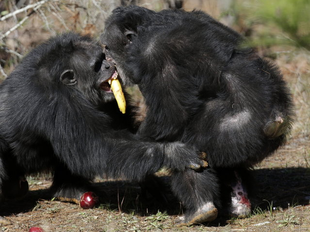 Two chimps tussle for food at Chimp Haven in Keithville, La., Tuesday, February 19, 2013. One hundred and eleven chimpanzees will be coming from a south Louisiana laboratory to Chimp Haven, the national sanctuary for chimpanzees retired from federal research. (AP Photo/Gerald Herbert)