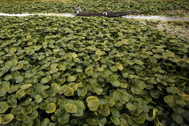 A man rows his boat in the interiors of Dal Lake on a rainy day in Srinagar October 14, 2015. (Photo by Danish Ismail/Reuters)