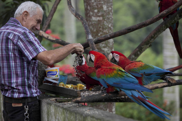 Vittorio Poggi, 70, an Italian immigrant feeds sunflower seeds to red macaws at his house in San Antonio De Los Altos at the outskirts of Caracas, Venezuela. Poggi is credited with the introducing the macaws to the valley where Caracas is situated in the 1970's, who says he found and nurtured a lost macaw, and trained it to fly next to his motorcycle as he cruised around his neighborhood. (Photo by Ariana Cubillos/AP Photo)