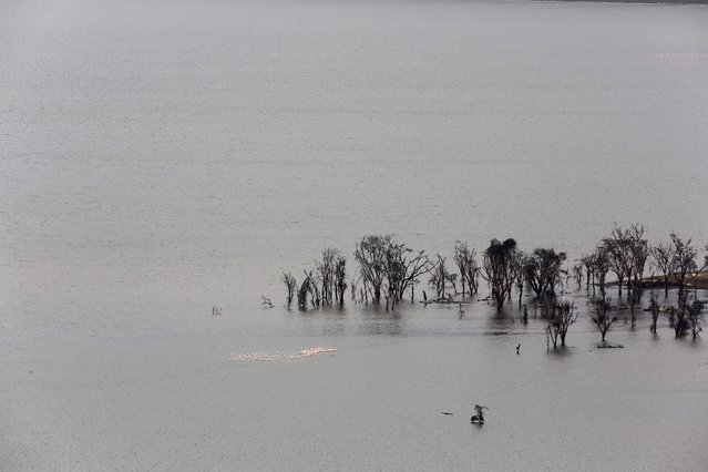 Flamingos gather next to trees damaged by flooding at Lake Nakuru National Park, Kenya, August 20, 2015. (Photo by Joe Penney/Reuters)
