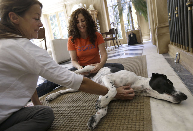 In this November 6, 2014 photo, Shelah Barr of Happy Hounds Massage, center, gives a massage to Dewie, 2, at the home of Laurie Ubben, left, in San Francisco. (Photo by Jeff Chiu/AP Photo)