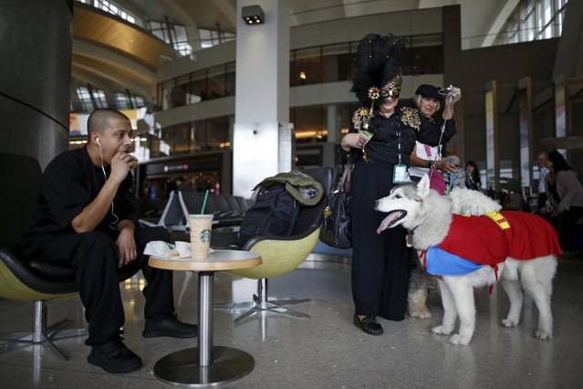 A therapy dog wearing a Superman Halloween costume stares at a man eating a hamburger, while taking part with its owner in a program to de-stress passengers at the international boarding gate area of LAX airport in Los Angeles, California, United States, October 27, 2015. (Photo by Lucy Nicholson/Reuters)