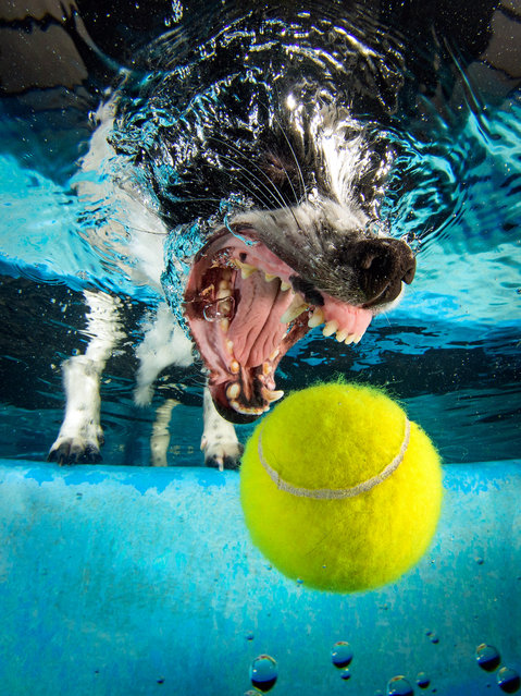 A Jack Russell cross Japanese Spitz chases the underwater ball. (Photo by Jonny Simpson-Lee/Caters News Agency)