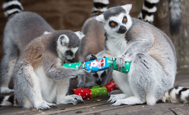 Undated handout photo issued by Folly Farm Adventure Park and Zoo in Pembrokeshire of ring-tailed lemurs trying to rip open a cracker inside their enclosure, which has been decorated by the park keepers with festive treats in the run up to Christmas. (Photo by James Davies/PA Wire/Folly Farm Adventure Park and Zoo)