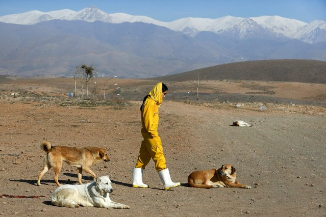 In this Friday, December 5, 2014 photo, Iranian volunteer Asal Moghaddam takes dogs for a walk at the Vafa Animal Shelter in the city of Hashtgerd 43 miles (73 kilometers) west of the capital Tehran, Iran. (Photo by Vahid Salemi/AP Photo)