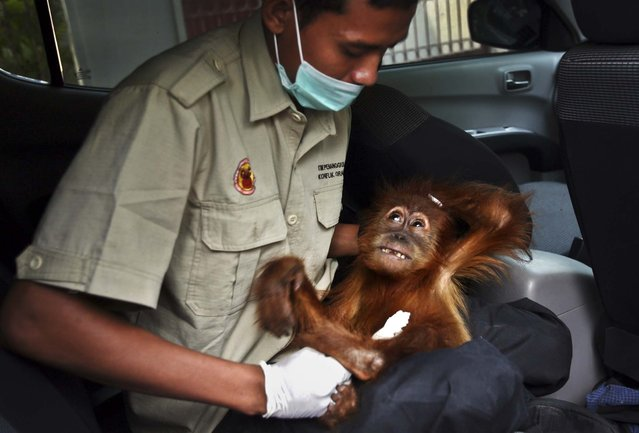 An officer holds an 18 month-old orangutan after it was confiscated from an illegal owner in Medan, North Sumatra, Indonesia, on May 24, 2013. Orangutan populations in Indonesia's Borneo and Sumatra island are facing severe threats from habitat loss, illegal logging, fires and poaching. Conservationists predicted that without immediate action, orangutans are likely to be the first great ape to become extinct in the wild. (Photo by Binsar Bakkara/Associated Press)
