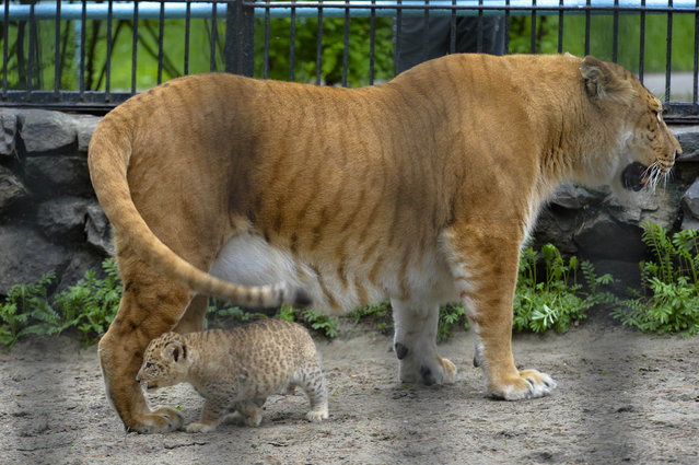 In this Tuesday, June 18, 2013 photo Zita, a liger, half-lioness, half-tiger stands with her one month old liliger cub in the Novosibirsk Zoo. The cub's father is a lion, Sam. (Photo by Ilnar Salakhiev/AP Photo)
