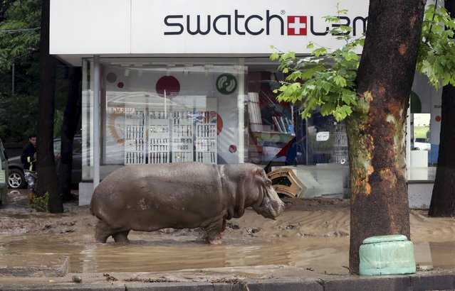 A hippopotamus walks across flooded street in Tbilisi, Georgia, June 14, 2015. Beso Gulashvili: The flood killed at least 12 people and partly destroyed Tbilisi Zoo, killing dozens of animals, while 30 more – including tigers, lions and bears managed to escape from their cages. On that night the capital of Georgia was as I'd never seen it. (Photo by Beso Gulashvili/Reuters)