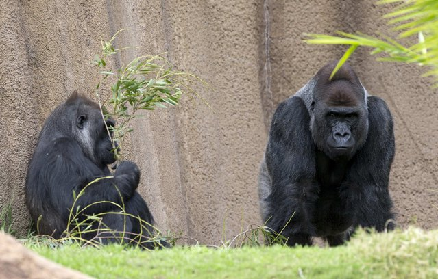 Two gorillas are pictured in their enclosure at the zoo in Los Angeles, California January 28, 2015. Picture taken January 28, 2015. (Photo by Mario Anzuoni/Reuters)