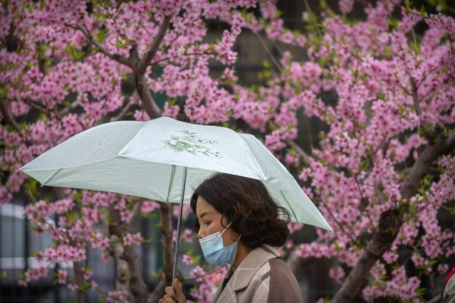 A woman wearing a face mask to help protect against COVID-19 walks past a tree in bloom on a rainy day in Beijing, Friday, April 2, 2021. A Chinese border city hit by a fresh outbreak of COVID-19 this week began a five-day drive Friday to vaccinate its entire population of 300,000 people. (Photo by Mark Schiefelbein/AP Photo)