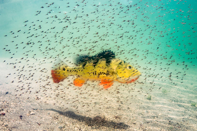 Michael O'Neill won a prize in animal portraits with fry of a peacock bass hovering around their mother for protection against predators in South Florida. (Photo by Michael Patrick O'Neill/2016 National Geographic Nature Photographer of the Year)