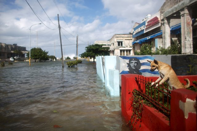 "A four-year-old dog Nika stands next to an image of Cuba's revolutionary hero Ernesto ""Che"" Guevara in front of a flooded street in Havana, January 23, 2016. Havana's seafront Malecon continued to be slammed by massive waves that flooded parts of the seaside city on Saturday. As a result, Havana was confronting flooding as a cold front passes through the Caribbean island.  (Photo by Alexandre Meneghini/Reuters)"