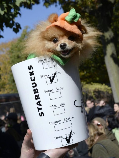 A dog in a Starbucks costume participates in the Halloween Dog Parade in New York. (Photo by Timothy Clary/Getty Images)