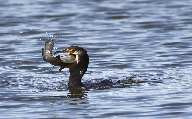 A double-crested cormorant attempts to swallow a large fish it caught in a water feature near the 10th tee at the Cadillac Championship golf tournament, Wednesday, March 2, 2016, in Doral, Fla. (Photo by Wilfredo Lee/AP Photo)