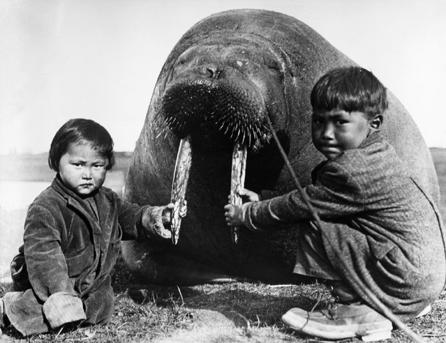 Two Inuit children at Point Barrow, Alaska, holding the tusks of a large walrus, probably killed for food, circa 1930. (Photo by General Photographic Agency/Getty Images)