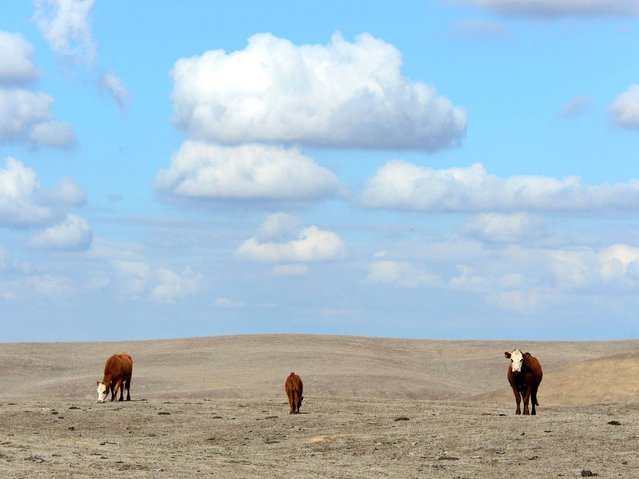 Hereford cattle roam the dirt-brown fields of Nathan Carver's ranch which his family has owned for five generations on the outskirts of Delano, in California's Central Valley, on February 3, 2014. At this time of the year normally, the fields would be covered in lush green grass, but the western US states's worst drought in decades has reduced the land to a parched moonscape, leaving the 55-year-old father-of-four praying for rain. (Photo by Frederic J. Brown/AFP Photo)