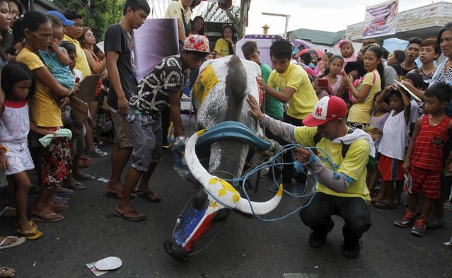 A carabao painted with the Philippine flag colors kneels along a road in a parade during the annual Carabao Festival in Pulilan, Bulacan in northern Philippines May 14, 2015. (Photo by Gina Minguito/Reuters)