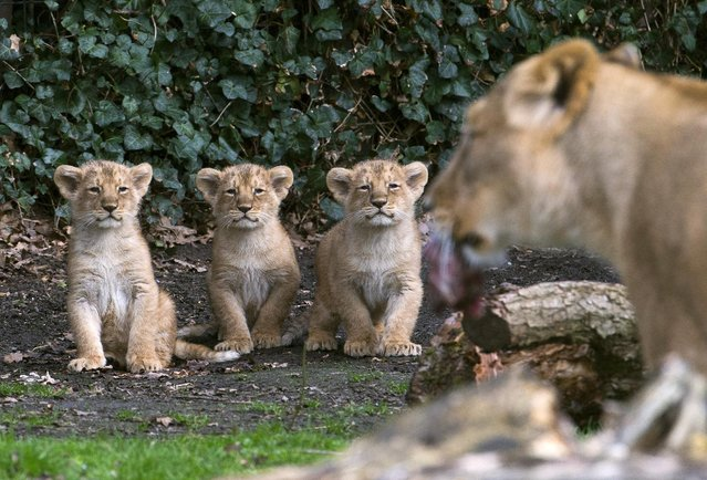 Three Asian lion cubs, born on January 25, 2016, stand next to their mother Lorena while being presented to the public at the Planckendael Park in Mechelen, Belgium March 30, 2016. (Photo by Yves Herman/Reuters)