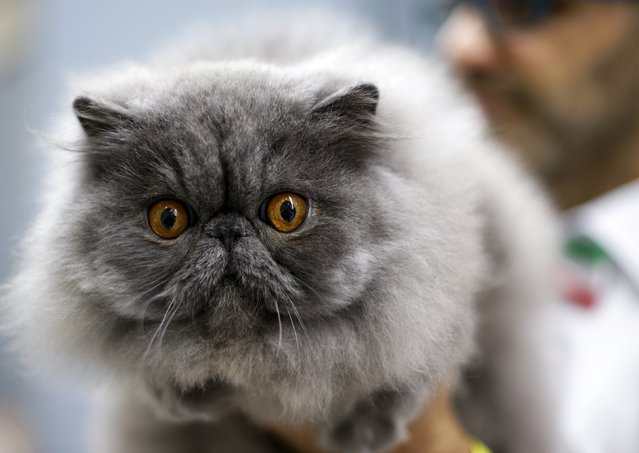 A Persian cat is held by a steward during the Mediterranean Winner 2016 cat show in Rome, Italy, April 3, 2016. (Photo by Max Rossi/Reuters)