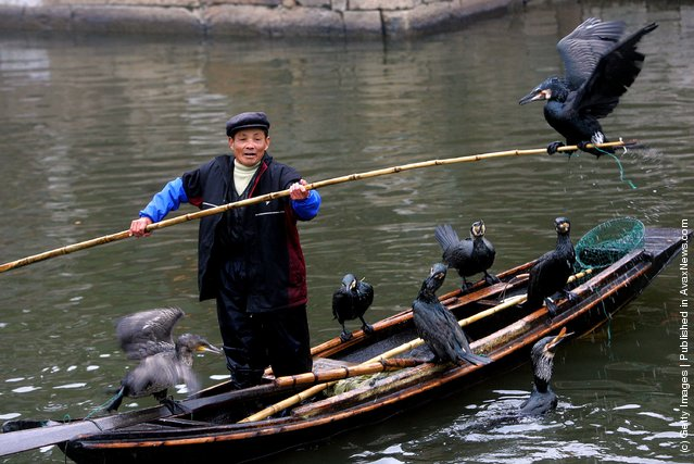 A fisherman catches fish with his cormorants on a canal in Xitang Township of Jiashan County, Zhejiang Province, southeast China