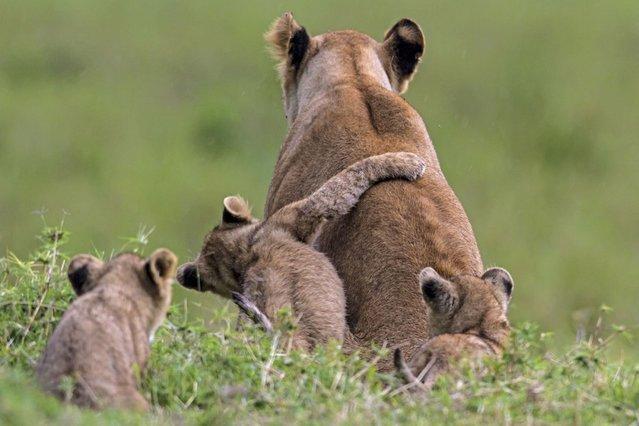 A big lion hug for mum. (Photo by Manoj Shah/Ardea Wildlife Pets Environment/Caters News)