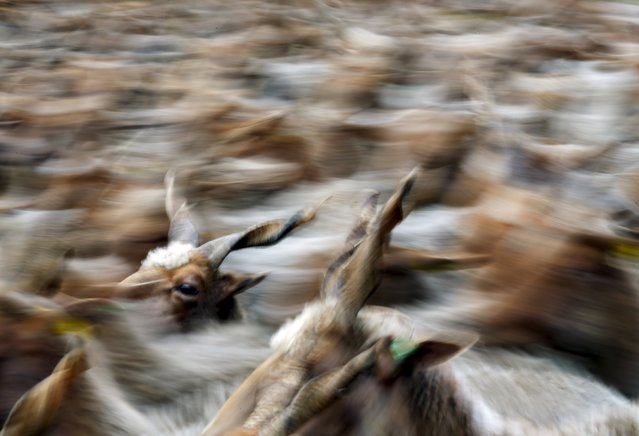 Racka sheep are seen during celebrations of the start of the new grazing season in the Great Hungarian Plain in Hortobagy, Hungary, April 23, 2016. (Photo by Laszlo Balogh/Reuters)