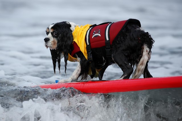 """A dog rides a wave during competition at the 14th annual Helen Woodward Animal Center """"Surf-A-Thon"""" where more than 70 dogs competed in five different weight classes for """"Top Surf Dog 2019"""" in Del Mar, California, U.S., September 8, 2019. (Photo by Mike Blake/Reuters)"""